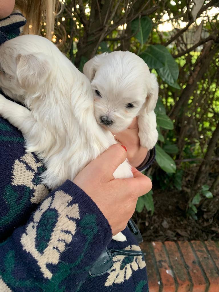 Cuccioli di Maltese da adottare
